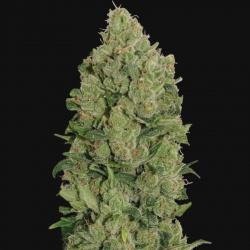 NYC Diesel Cannabis Seeds Autoflower