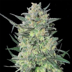 Quebec LSD Cannabis Seeds