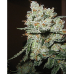 Auto CBD Kush Feminized Cannabis Seeds