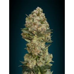 Critical Cannabis Seeds Fast Version