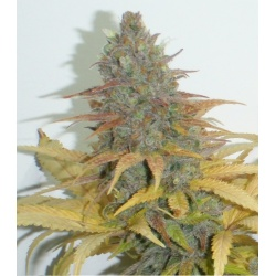 Northern Lights Seeds Fast