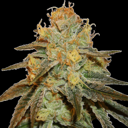 Auto Bruce Banner Cannabis Seeds